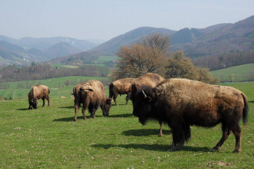bison-herde-biohof-edibichl-altenmarkt-an-der-triesting