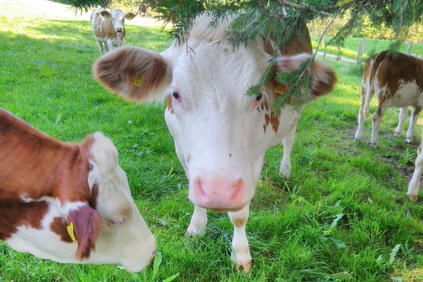 Bio Bauernhof Ziegerhofer Schweine Rinder St. Kathrein am Hauenstein Steiermark
