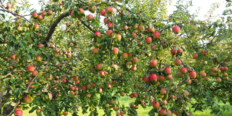 Alles Apfel Vera Albert Leeb Apfelsaft Seewinkel St. Andrä Zicksee Burgenland AbHof Kinder (1)