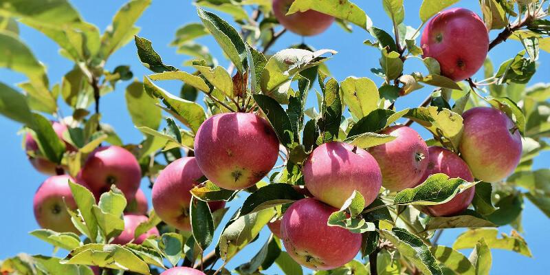 Apfelstrudel Rezept Strudel AbHof Apfel österreichisch Apfelbaum