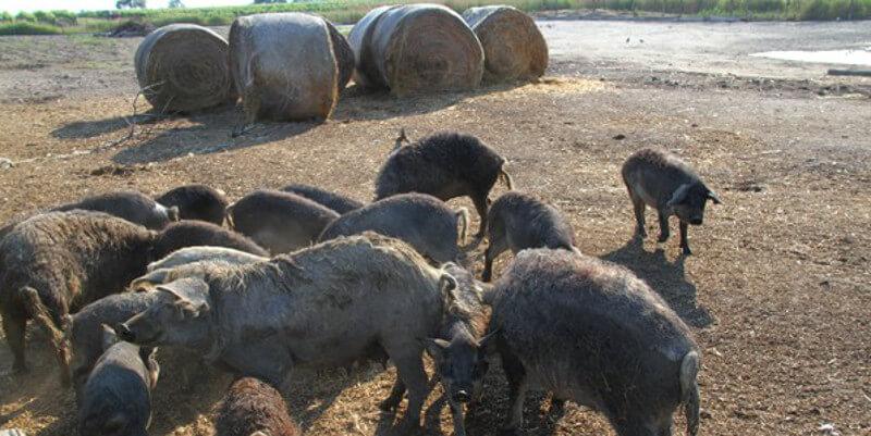Fleischerei Karlo AbHof Partner Pamhagen Illmitz Burgenland Mangalitza Schwein AbHof App